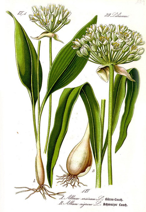 Bylina medvědí česnek (Allium Ursinum)