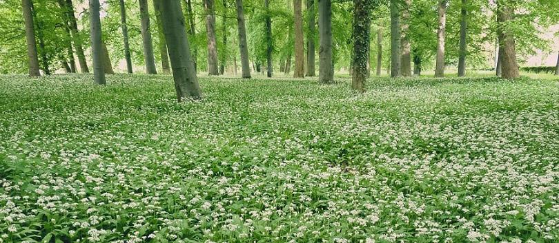 Jarní les posetý medvědím česnekem